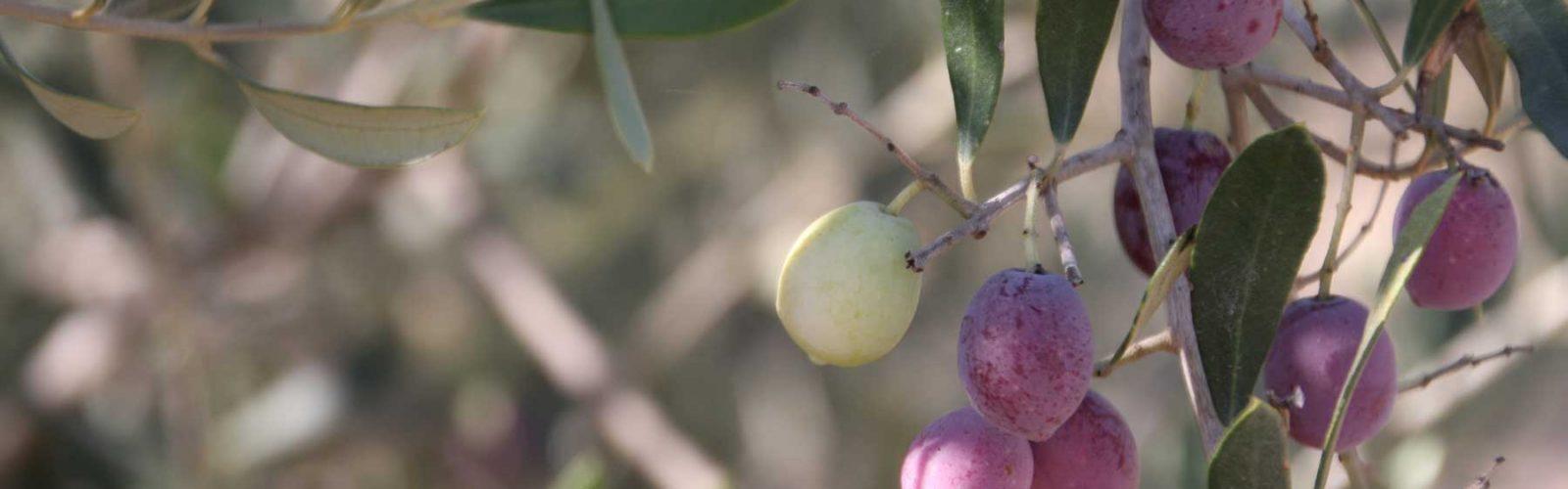 Costa Blanca olives